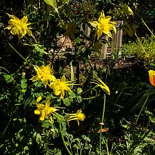 Aquilegia chrysantha golden columbine golden columbine