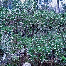 Arctostaphylos densiflora Sentinel manzanita