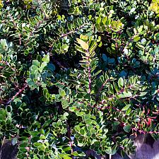 Arctostaphylos x Emerald Carpet bearberry