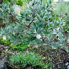 Arctostaphylos  Pacific Mist manzanita