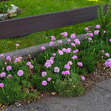 Armeria alliacea  Portuguese sea thrift