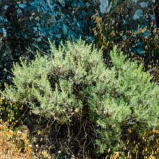 Artemesia californica  California sagebrush