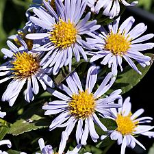 Aster chilensis Point Saint George dwarf California aster