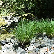 Carex nudata  California black flowering sedge