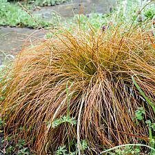 Carex testacea  orange colored sedge