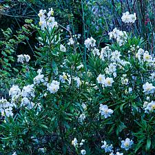 Carpenteria californica Elizabeth bush anemone