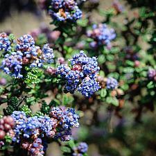 Ceanothus x Julia Phelps wild lilac