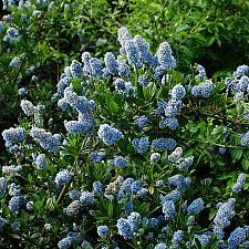 Ceanothus thyrsiflorus  wild lilac