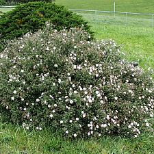 Cistus skanbergii  rock rose