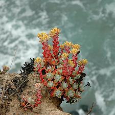Dudleya farinosa  live forever