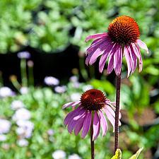Echinacea purpurea  purple cone flower