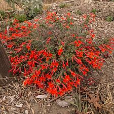 Epilobium c. latifolium Everett's Choice California Fuchsia
