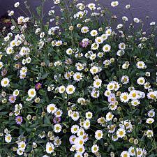 Erigeron karvinskianus  Mexican daisy