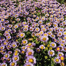 Erigeron glaucus Cape Sebastian seaside daisy