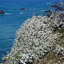 Eriogonum latifolium  coastal buckwheat