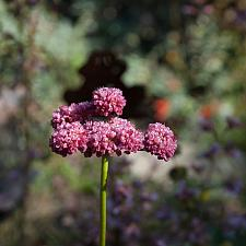 Eriogonum latifolium rubescens  red buckwheat