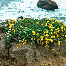 Eschscholzia californica maritima  coastal California poppy