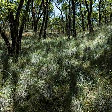 Festuca californica  california fescue