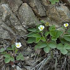 Fragaria vesca  woodland strawberry
