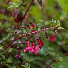 Fuchsia x thymifolia  fuchsia