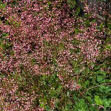 Heuchera micrantha Martha Roberick alumroot