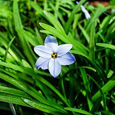Ipheion uniflorum  blue Argentine starflower