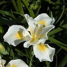 Iris x Canyon Snow iris pacific coast hybrid