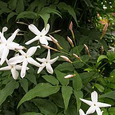 Jasminum polyanthum  pink jasmine