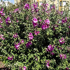 Lavatera x kew rose  bush mallow