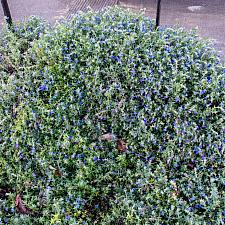 Lithodora diffusa Grace Ward Grace's lithodora