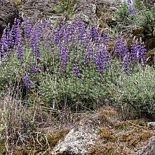 Lupinus albifrons  silver bush lupine