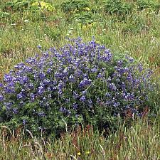 Lupinus propinquus  blue bush lupine