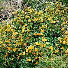 Mimulus aurantiacus  sticky monkey flower