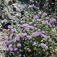 Monardella villosa  coyote mint