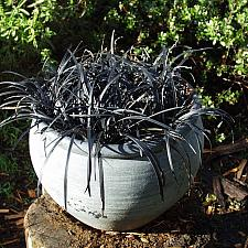 Ophiopogon p. Nigrescens  black mondo grass