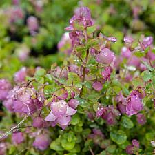 Origanum x rotundifolium Kent beauty ornamental oregano