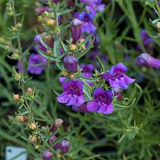 Penstemon heterophyllus Margarita foothills penstemon