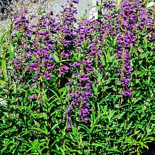 Penstemon  Midnight beard tongue