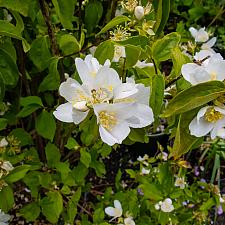 Philadelphus lewisii Marjorie Schmidt California mock orange