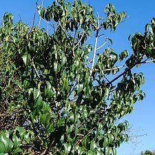 Prunus ilicifolia ssp. lyonii  Catalina cherry