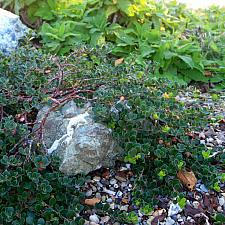Arctostaphylos uva-ursi Point Reyes bearberry
