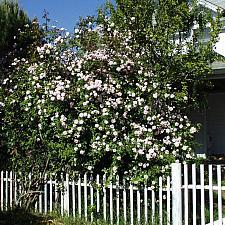 Rosa  Cecile Brunner sweetheart rose