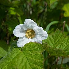Rubus  parviflorus  thimbleberry