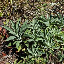 Salvia apiana  white sage