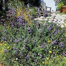 Salvia x clevelandii Allen Chickering Cleveland sage