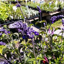 Salvia  Indigo Spires Perennial Sage