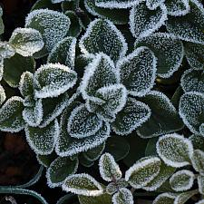 Salvia officinalis  garden sage