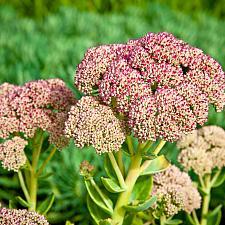 Sedum telephium Autumn Joy stonecrop