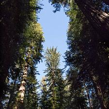 Sequoia sempervirens  coastal redwood