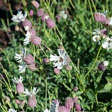 Silene vulgaris maritima  sea campion